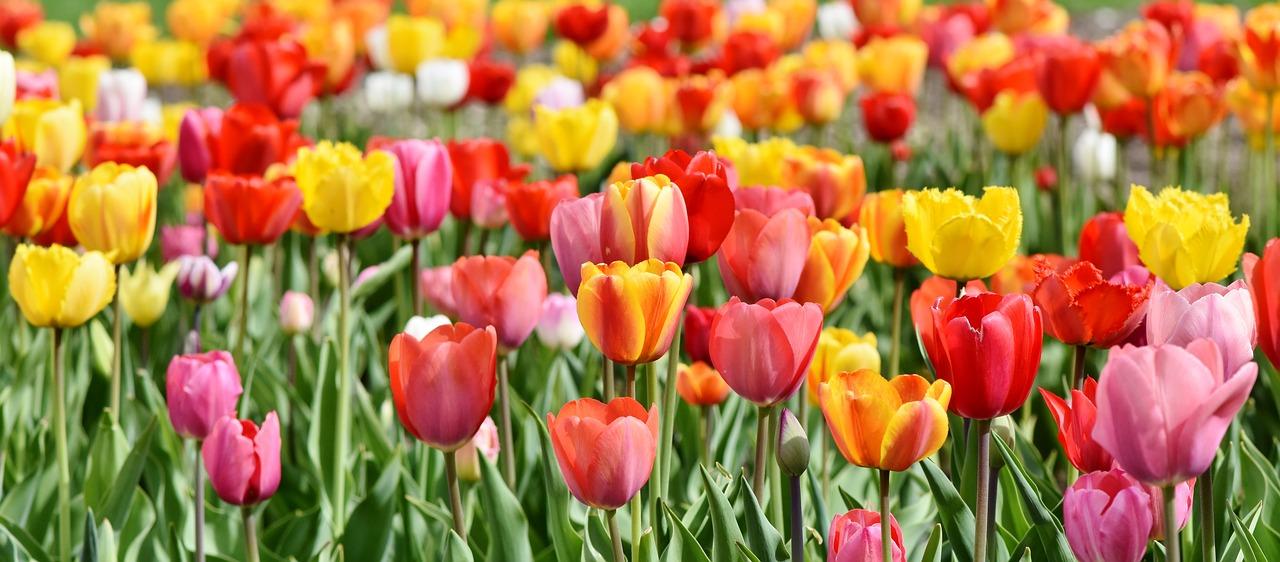 tulips-3333718_1280